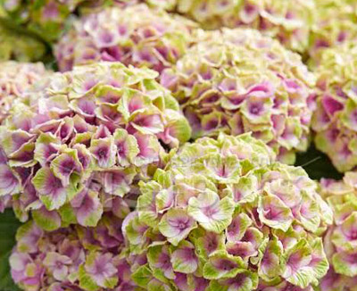 sense of seasons eco hortensia